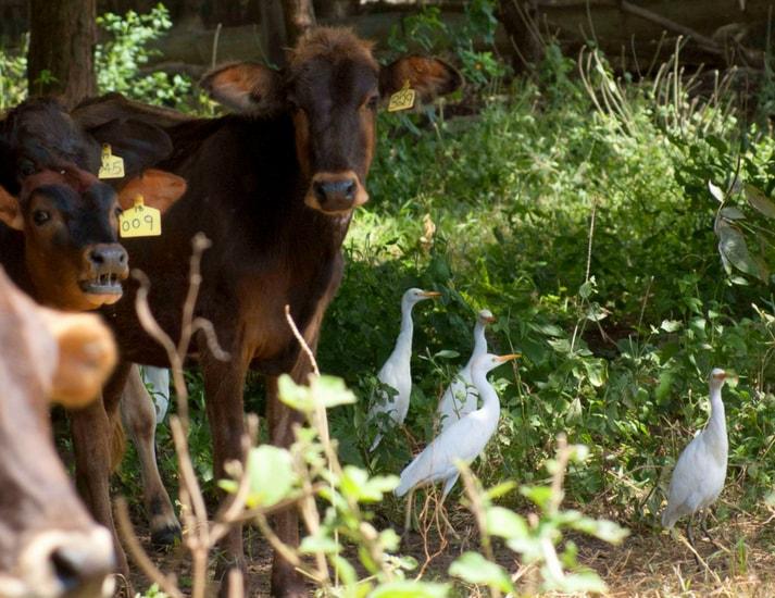 Livestock farming Kpl