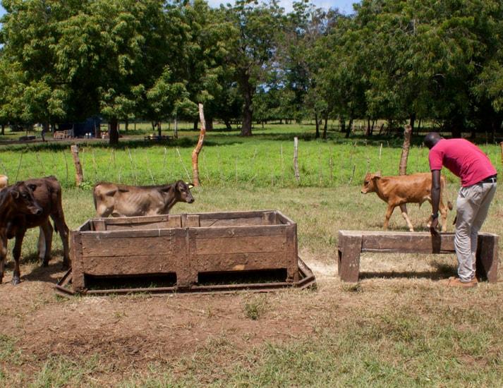 Cows-Kpl